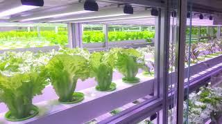 늘푸른채 수경재배 춘천 산트리니 식물공장입니다. #1