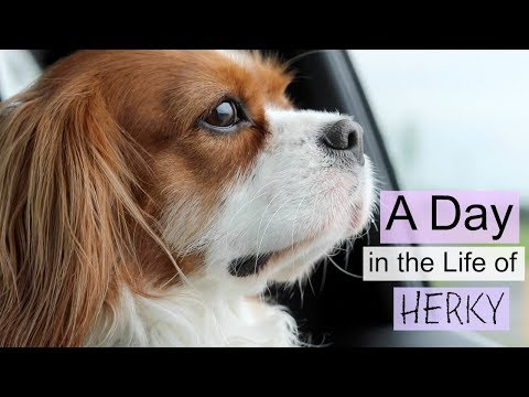 A Day in my Life: Herky the Cavalier | Cavalier King Charles Spaniel