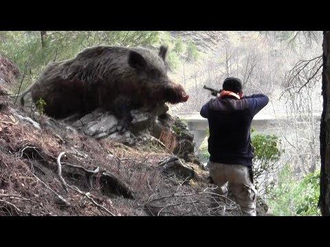 Dev Gibi Azılı Domuz Avı Wild Boar Hunting