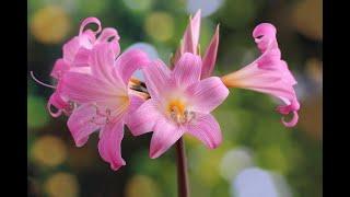Маленькие секреты по уходу за лилиями