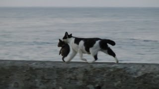 海辺を歩くネコの親子 Seaside kitten and mother cat (HD)