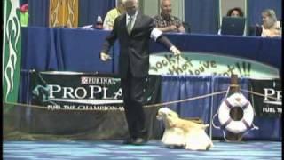 Kenwood's Lightning Rod Wins The Cocker Spaniel National