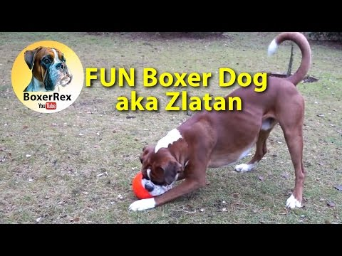 FUN Boxer Dog aka Zlatan ⚽ 😂