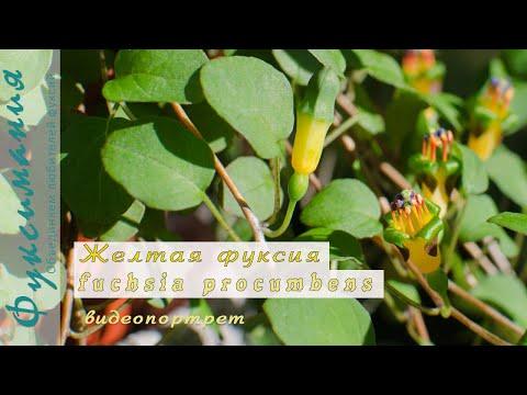 Желтая фуксия fuchsia procumbens