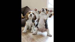 Funny Dogs Dancing  Try Not To Laugh!