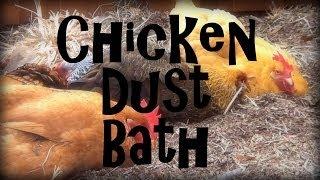Chicken Dust Bath