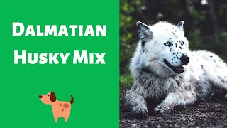 Complete Guide on The Dalmatian Husky mixbreed | Should you get the breed for yourself?
