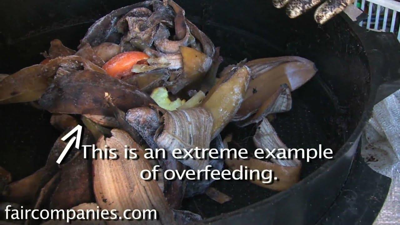 Good bugs in a worm bin & DIY fly trap - YouTube