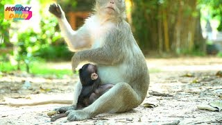 Pity poor newborn Farrah not complete milk coz mom don't | Farrah need sweet milk |Monkey Daily 3357