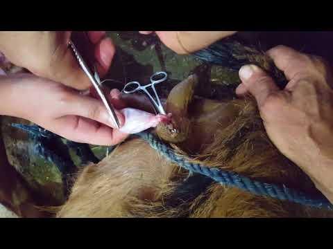 Open method castration in goat