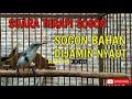 Suara Terapi Sogon Macet Bunyi Therapy Sogon Bahan Pancingan Sogon Bahan  Mp3 - Mp4 Download