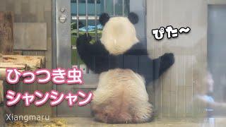 2019/8/23 ドアにピタッとひっつくシャンシャン^^ Giant Panda Xiang Xiang