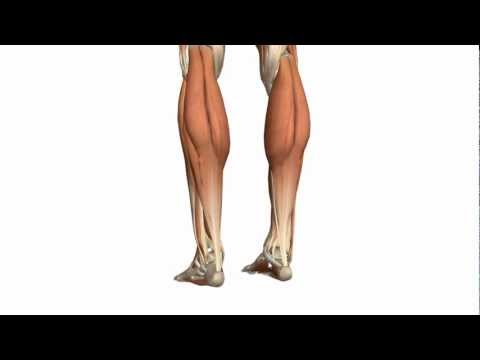 Muscles of the Leg - Part 1 - Posterior Compartment - Anatom