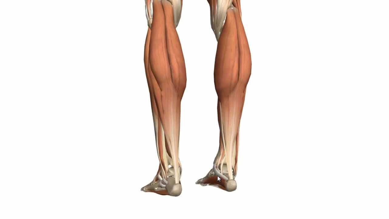 hight resolution of muscles of the leg part 1 posterior compartment anatomy tutorial youtube