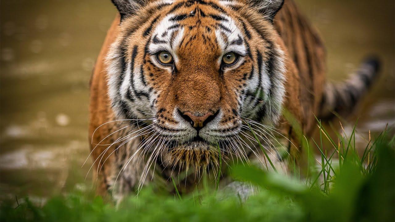 Download Siberian Tigers - Big Cats Wild Dcumentary (HD 1080p)