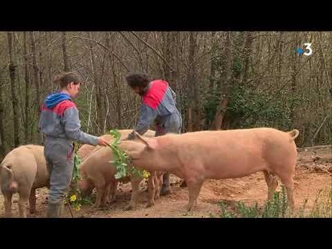 Du bon, du bio ! L'exemple d'un élevage de cochons bio dans le Tarn