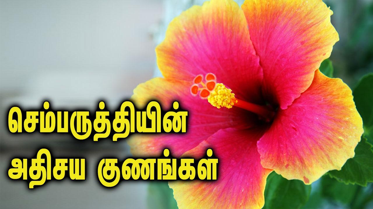 Unbelievable benefits of hibiscus unbelievable benefits of hibiscus tamil health facts izmirmasajfo