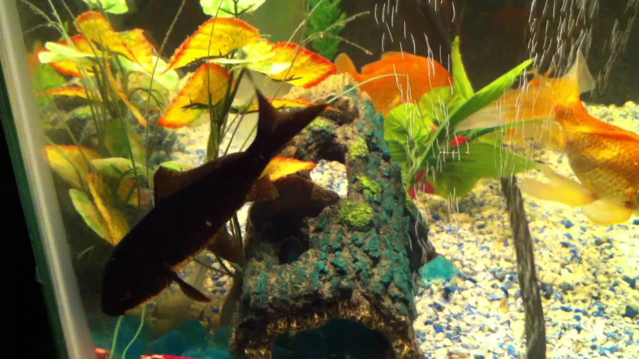 Black japanese koi fish aquarium youtube for Coy fish tank