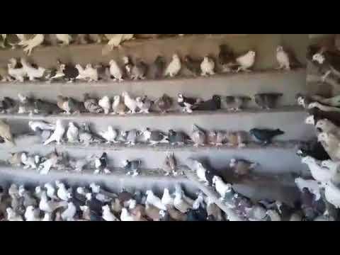Агасиевские голуби. Агаси Владимировича Казанцев.
