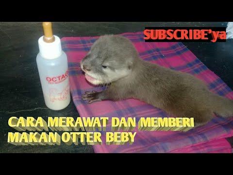 Vidio ini berisi perawatan baby otter untuk temen-temen pecinta otter yang masih pemula. Sebenarnya perawatan baby otter tidak....