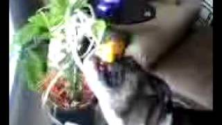 Danzig The Boxer Dog Gets A Lemon