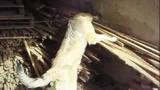 Basic Dog Training Kerry [ Kangal ]