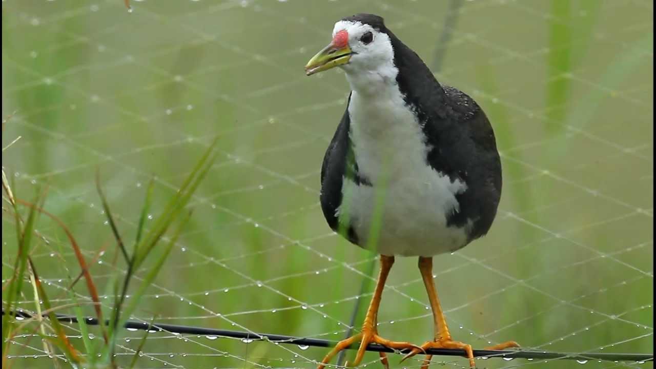 Perawatan Dan Suara Burung Ruak Ruak Atau Kareo Padi Om Kicau