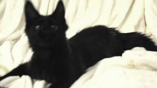 Котёнок Мейн Кун котик, кличка Eyktan IMPERATOR