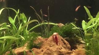 Triops and Fish
