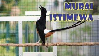 Suara Burung Murai Medan Istimewa