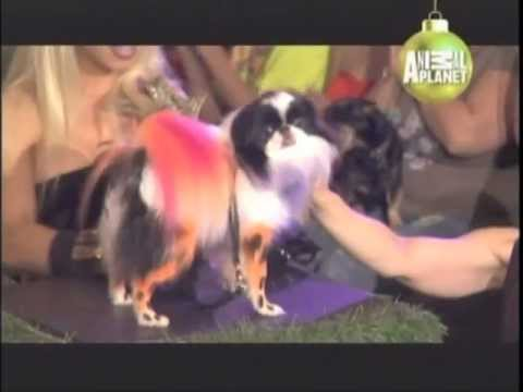 JAPANESE CHIN - ABC CANINO - 101 DOGS - ESPAÑOL