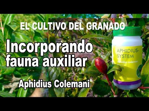 Incorporando fauna auxiliar en huerto de granados - Aphidius Colemani de Biobest