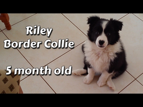 Riley Border Collie - My first 5 month