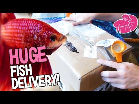 Huge Betta Unboxing!