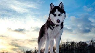 Как выглядит порода Сибирский Хаски ?