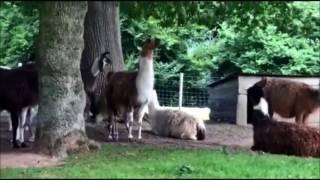 Naissance d'un lama au parc animalier de Montaigu-la-Brisette (images : Sophie Hagi)
