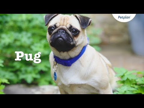 Pug Puppies & Dogs | Videos, Facts & Information | Petplan