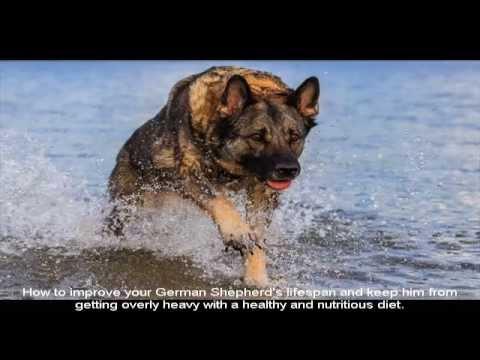 German Shepherd Pups For Sale Price Youtube