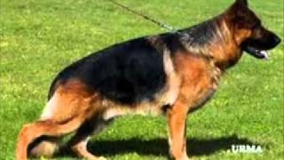 Dog Sale In Pakistan Dog Sale In Pakistan German Shepherd Dogs For Sale