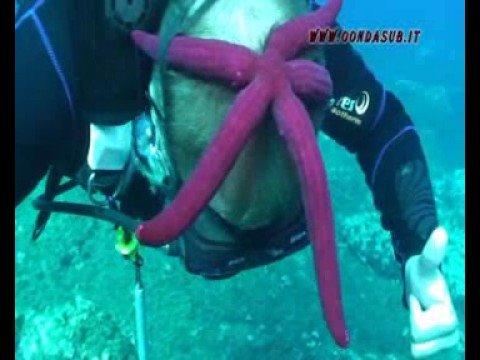 Stella marina in testa all'Isola d' Elba