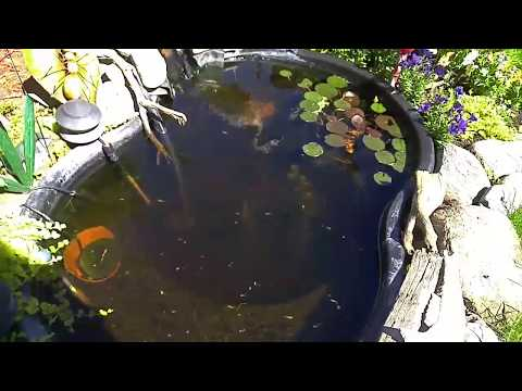 Beautiful Guppy Pond Outside In Canada!