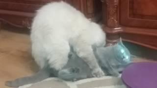 Кошка пристает к коту. Кошка белая сверху.