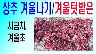 상추겨울나기 월동상추 월동상추파종