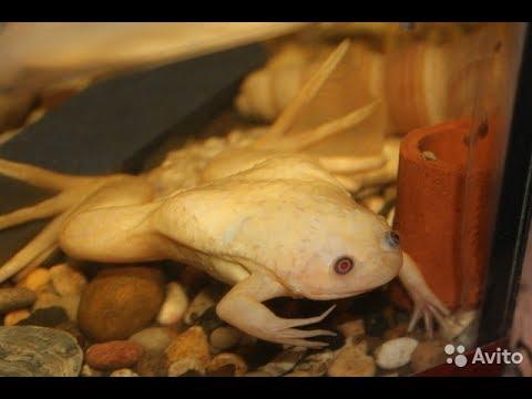 Лягушки в аквариуме уход и содержание