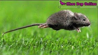 5 Mẹo đuổi chuột không cần gài bẫy hay nuôi mèo