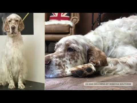 English Setters Samson & Blossom at K9 Dog Grooming by Rebecca Goutorbe, Matlock, Derbyshire UK