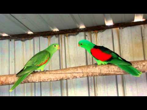 Crimson Winged Parrots