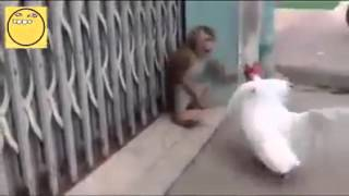 Funny videos Monkey Vs. Rooster Who will win ??