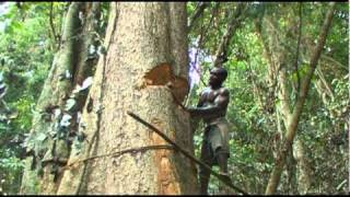 Pygmies cutting a tree and farming their land
