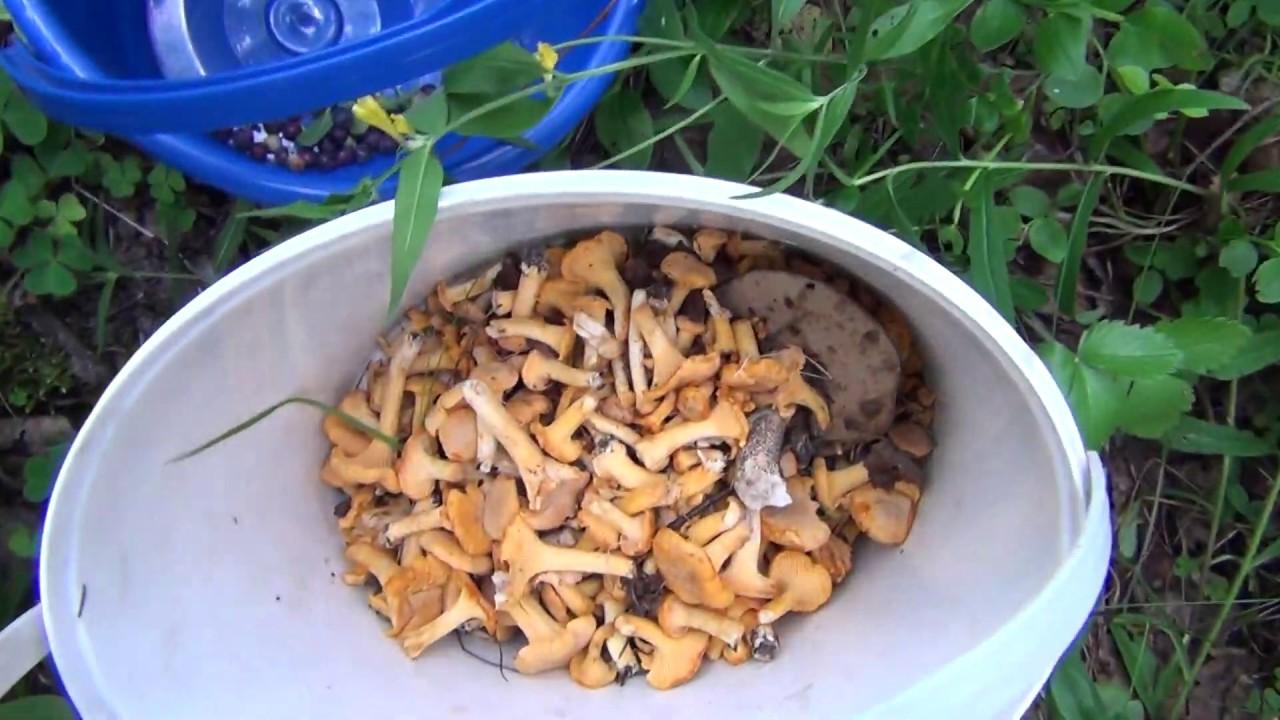 Пошли летние грибы и лесные ягоды. Собираем лисички и ...